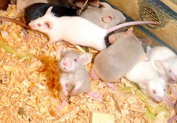 снятся если мыши